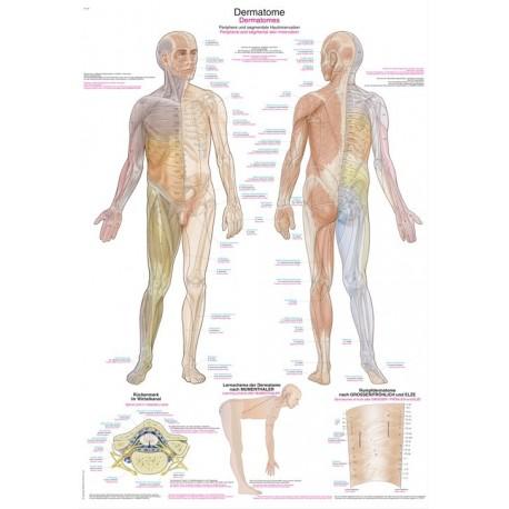 Planche anatomique Dermatomes