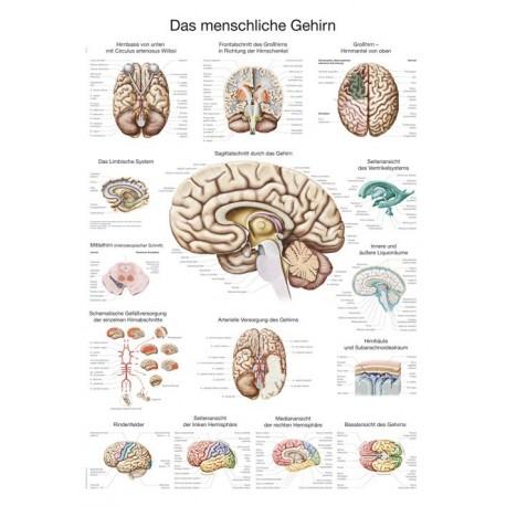 Planche anatomique du cerveau humain