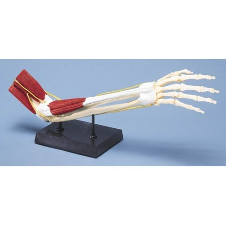 Articulation du coude avec sa musculature